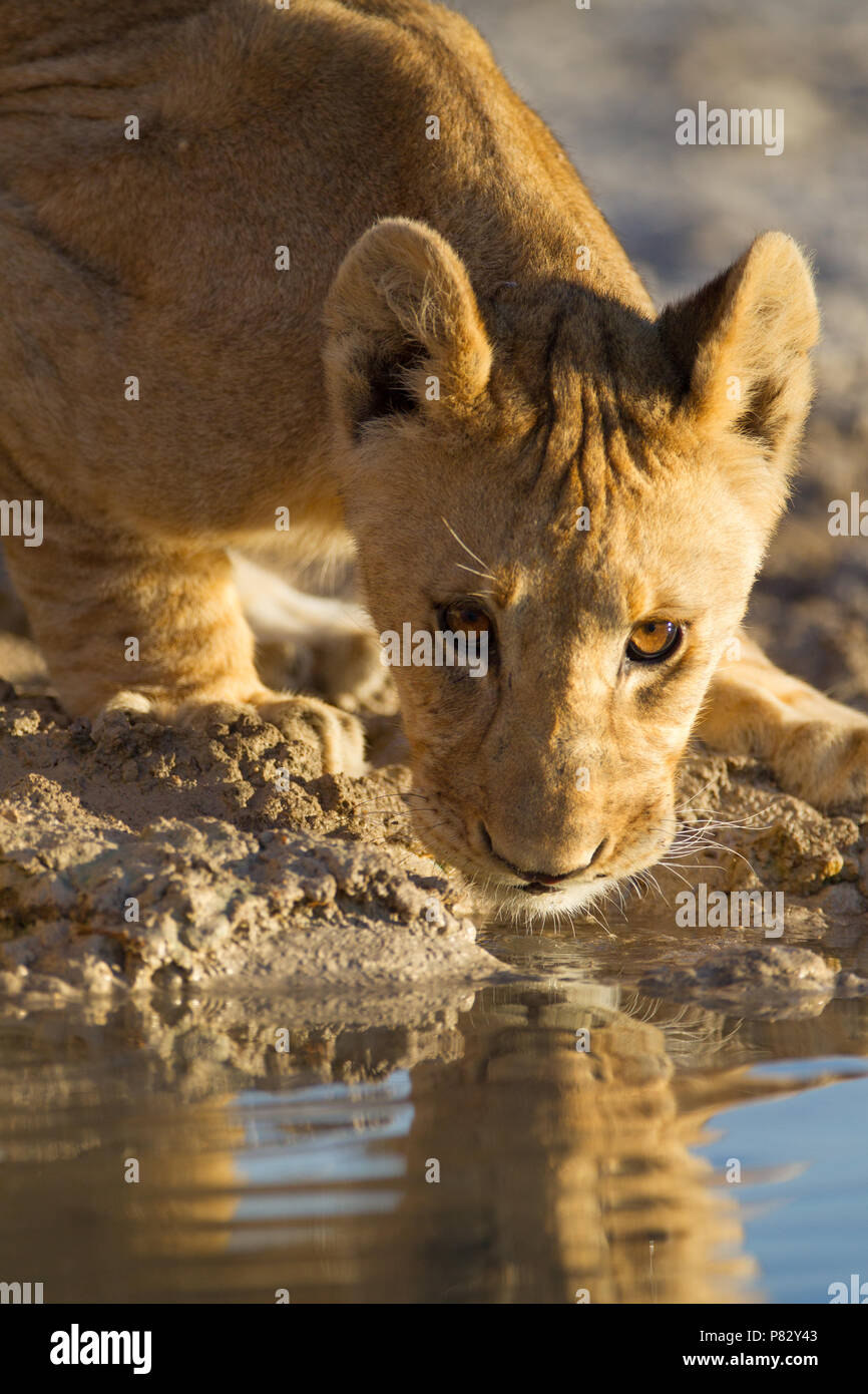 Tiny Lion cub drinking water from a pond in Etosha - Stock Image