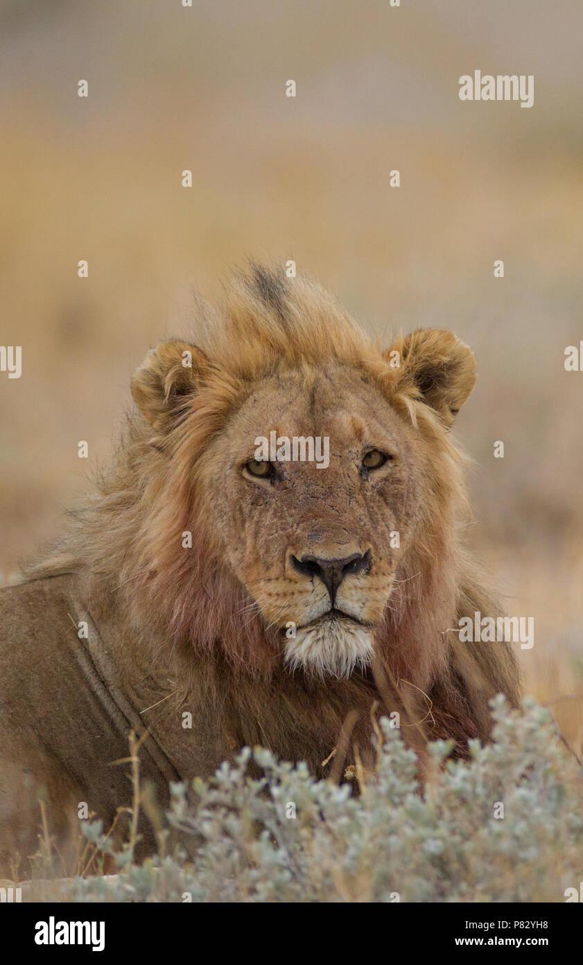 Male lion portrait in Etosha National Park - Stock Image