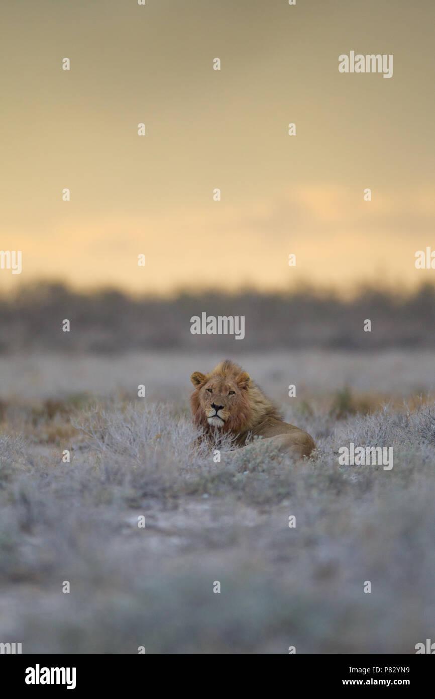 Male  lion portrait during sunset in Etosha National Park Stock Photo