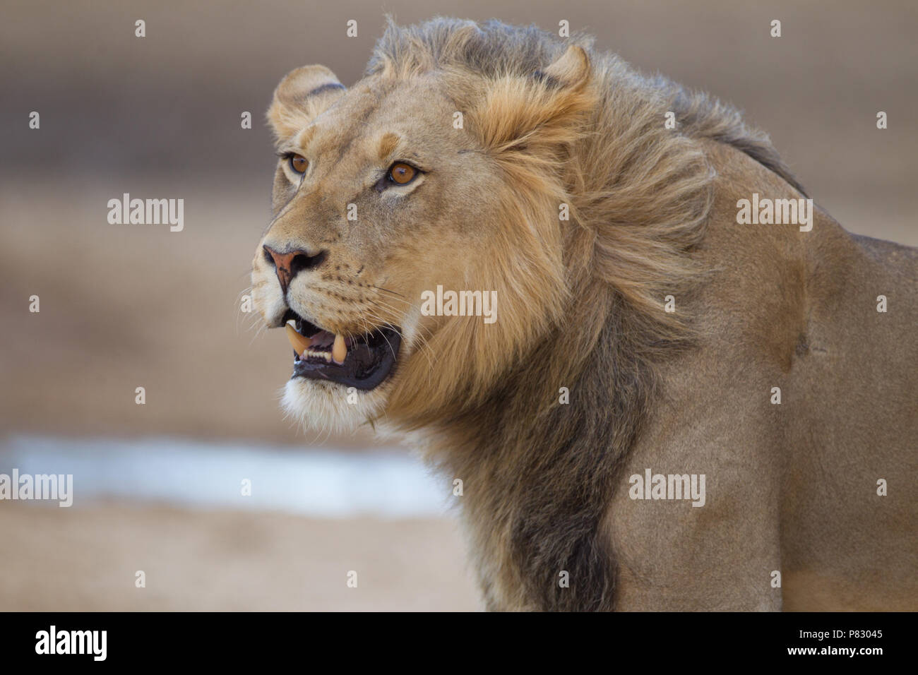 Black maned juvenile young male lion portrait in desert of Kalahari  Kgalagadi Transfortier Park wilderness - Stock Image