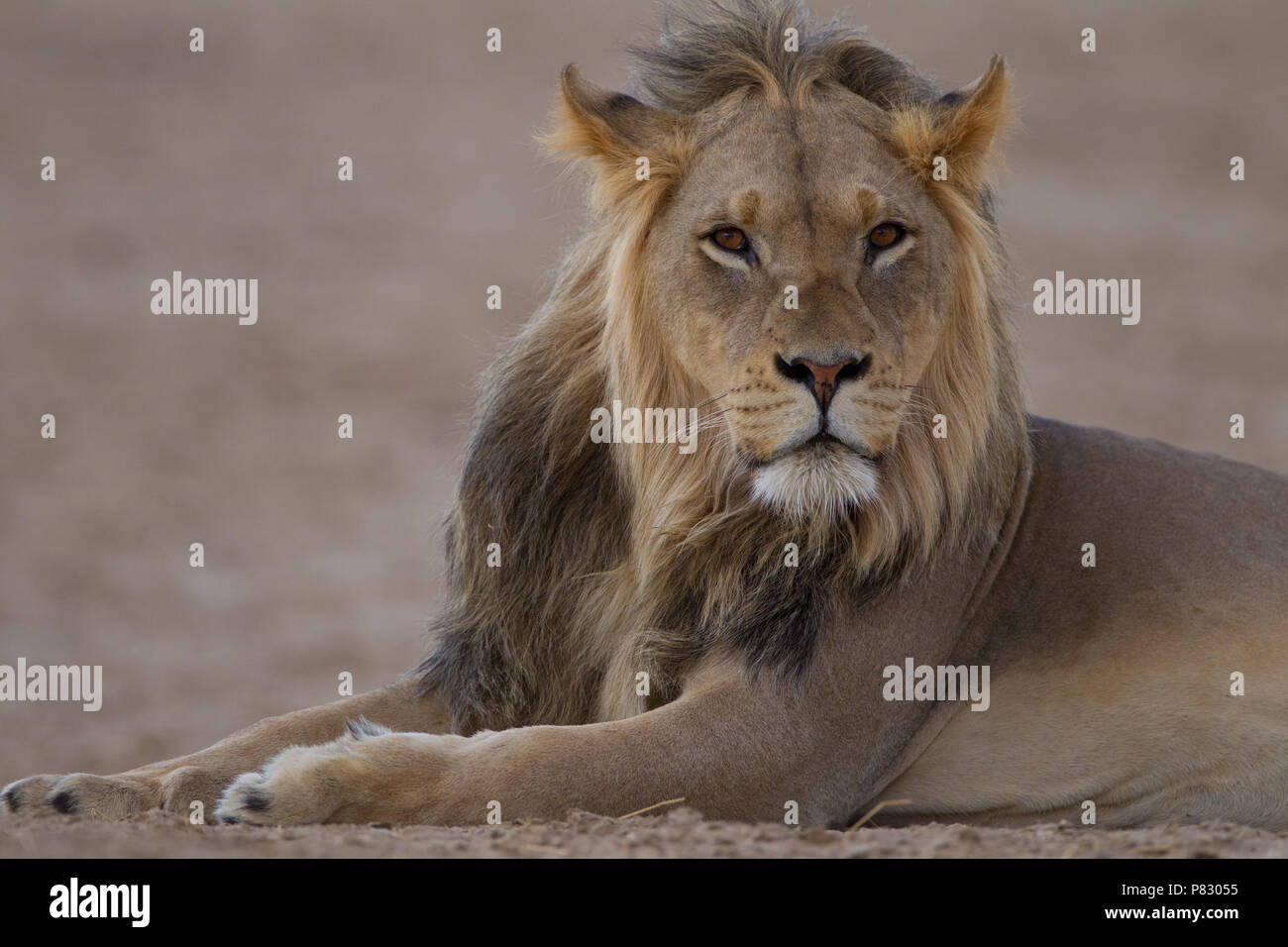 Black maned juvenile young male lion portrait in desert of Kalahari  Kgalagadi Transfortier Park wilderness Stock Photo