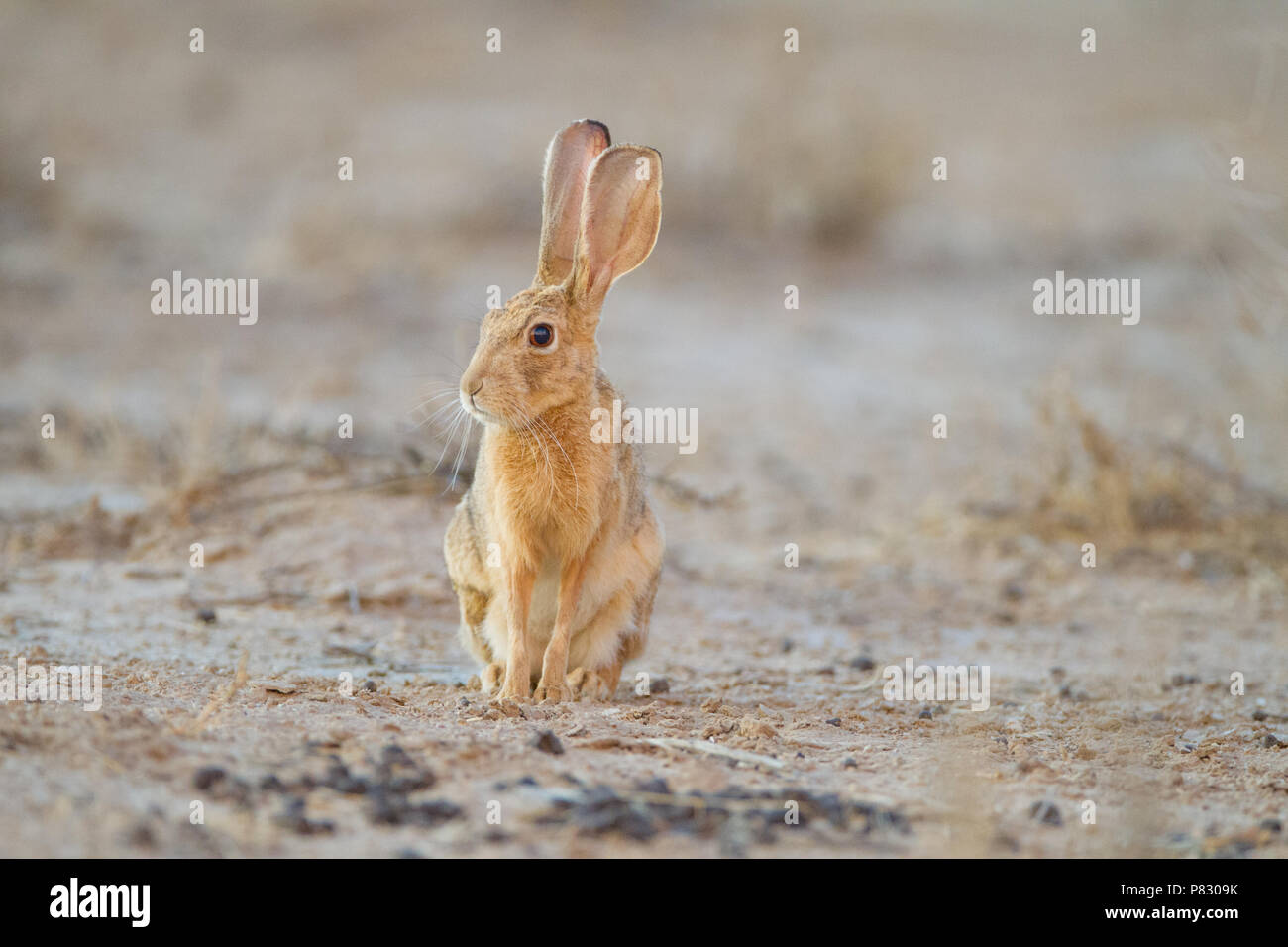 Cape hare in Kgalagadi Transfrontier Park Africa - Stock Image