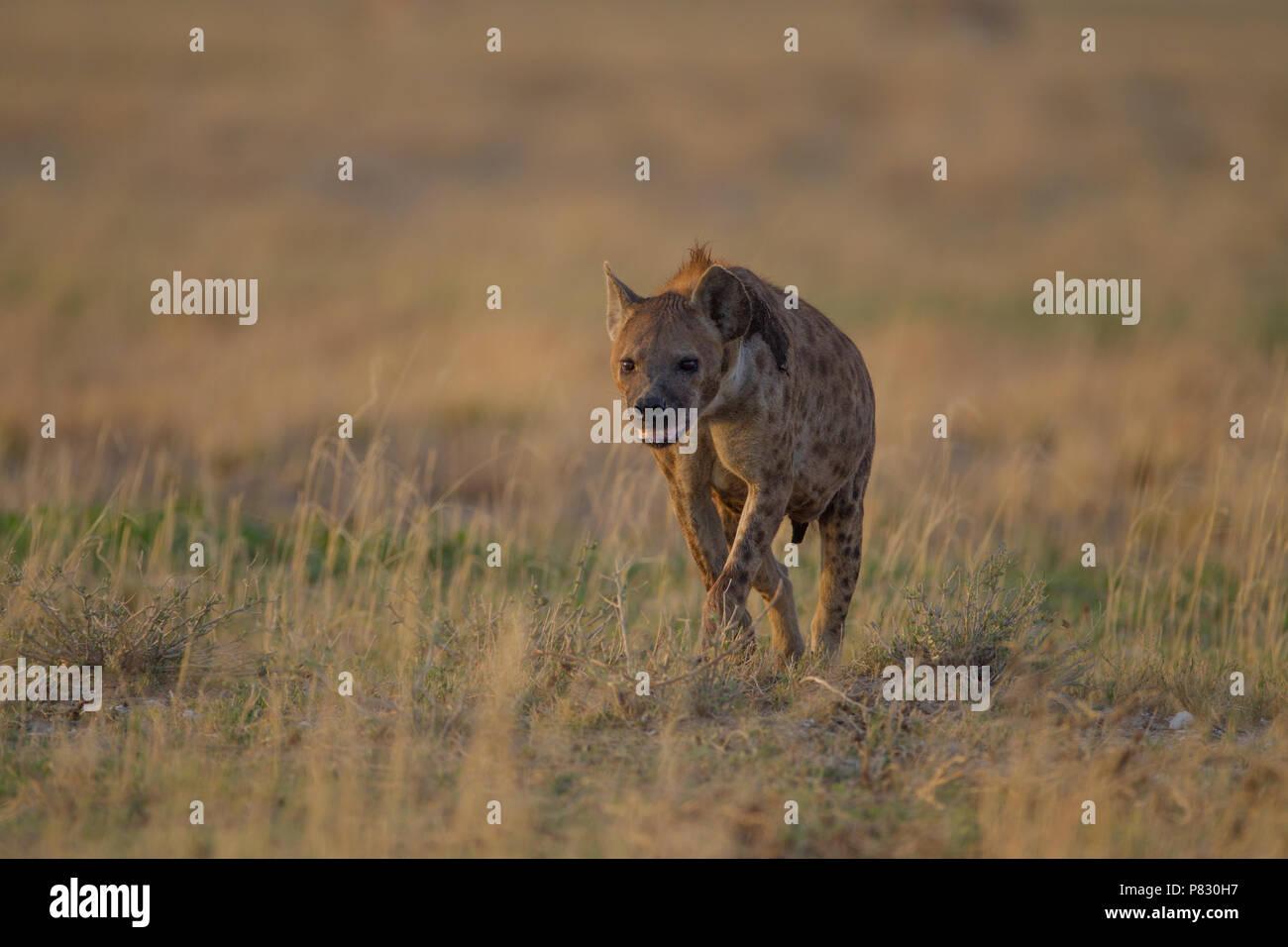 Hyena walking towards the camera in Etosha - Stock Image