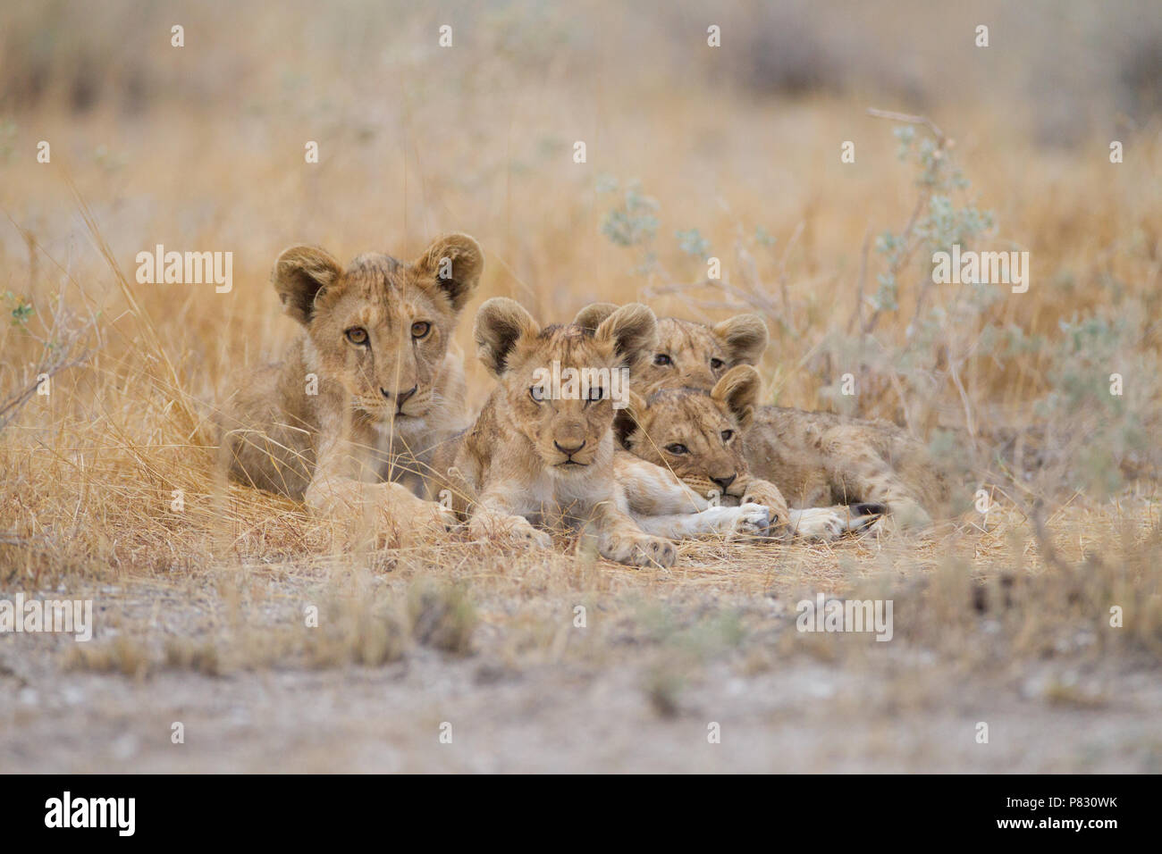 Cute baby lion cubs siblings in wilderness Stock Photo