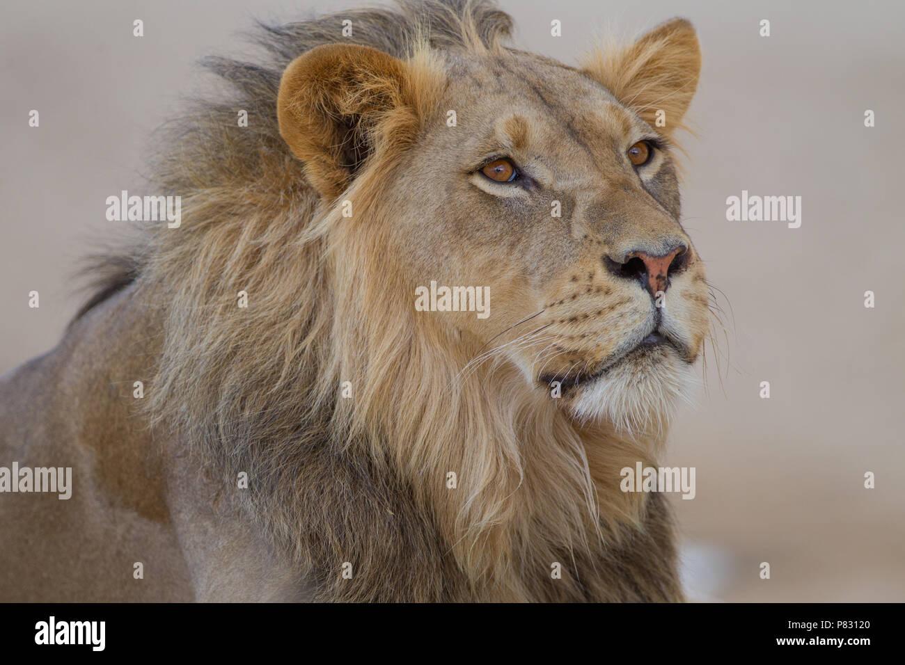 Male desert  lion porrait in Kalahari - Stock Image