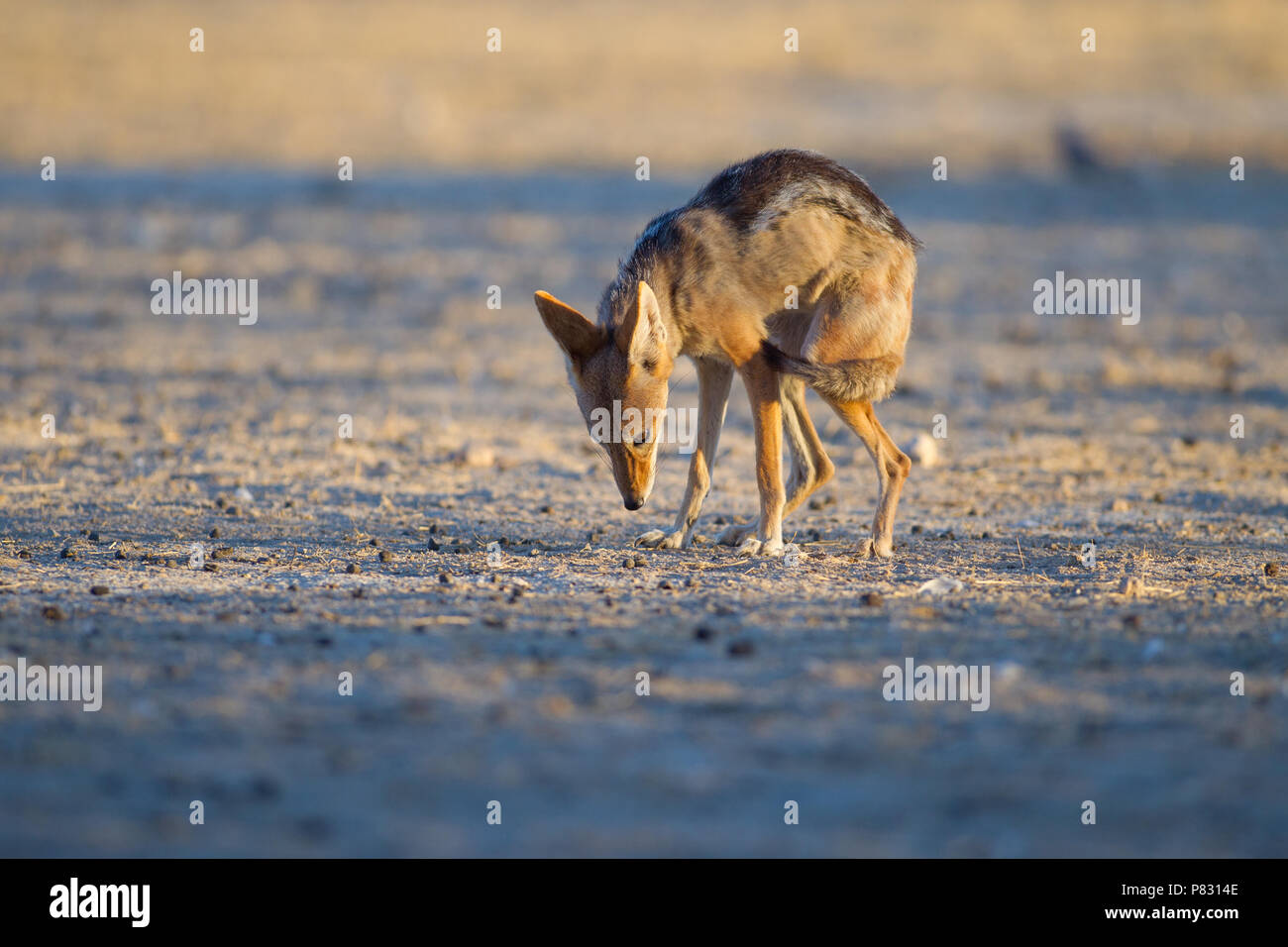 Inferior jackal shows obeying behaviour by tucking the tail between legs - Stock Image