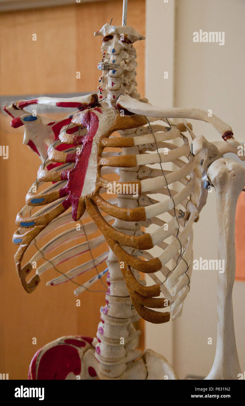A teaching assist, the torso of a skeleton with markings of body parts hangs up for viewing - Stock Image