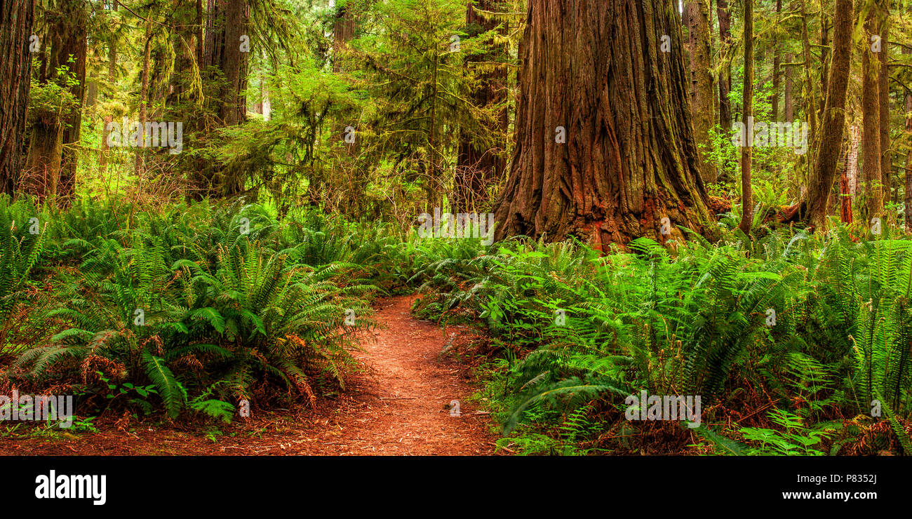California's Redwoods National and State Parks - Stock Image