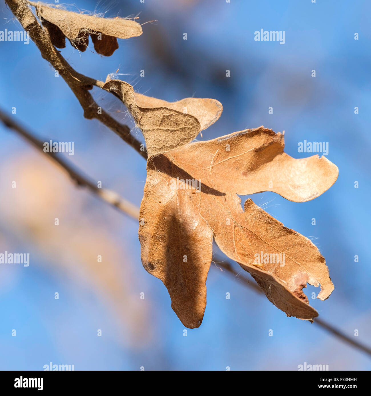 A dead white oak leaf, Quercus alba, after several hard freezes still clinging to a branch. Oklahoma, USA. - Stock Image