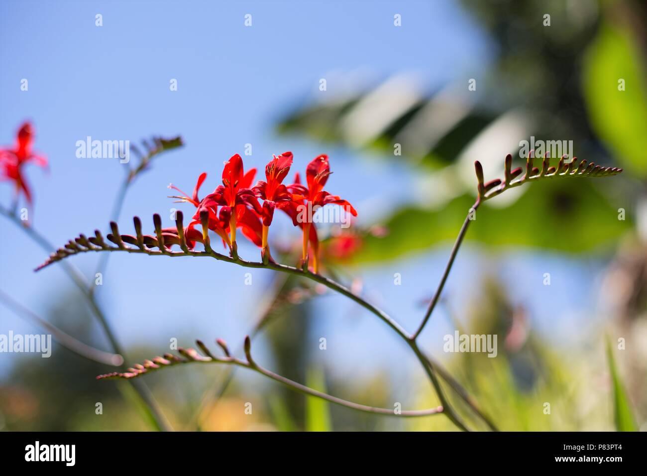 Crocosmia 'Lucifer' plant. Stock Photo