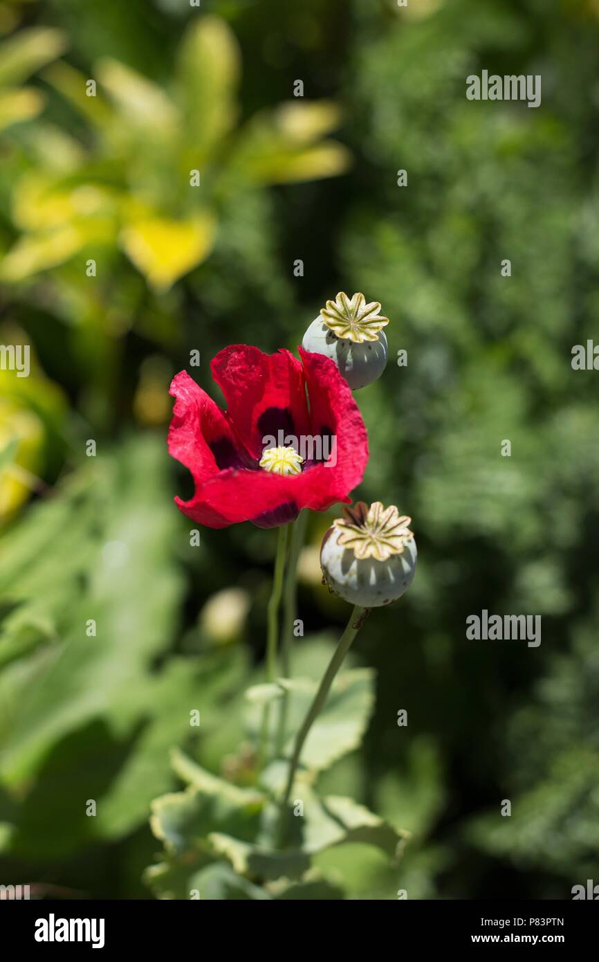 A red poppy flower. - Stock Image