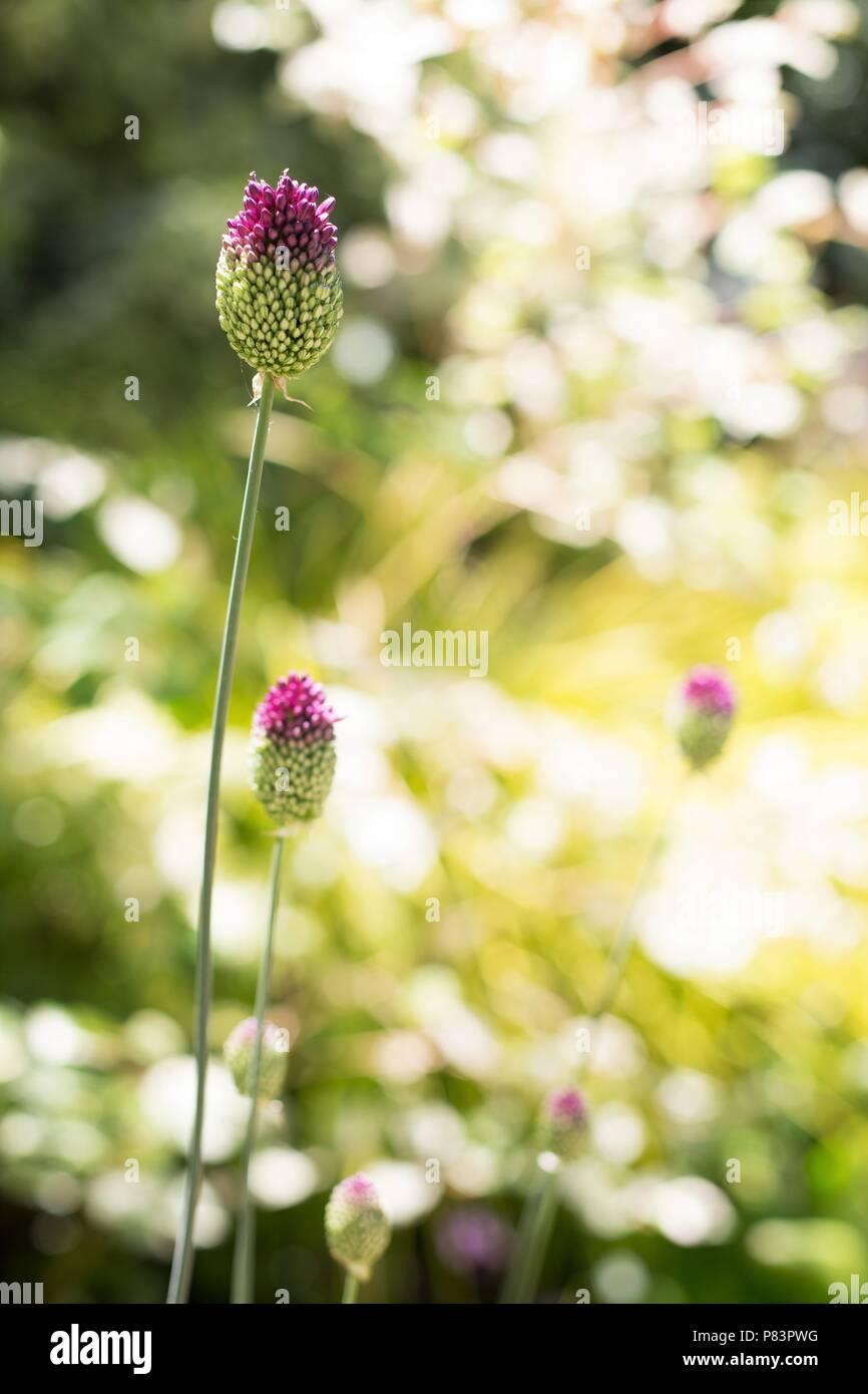 Drumstick Allium flowers. - Stock Image