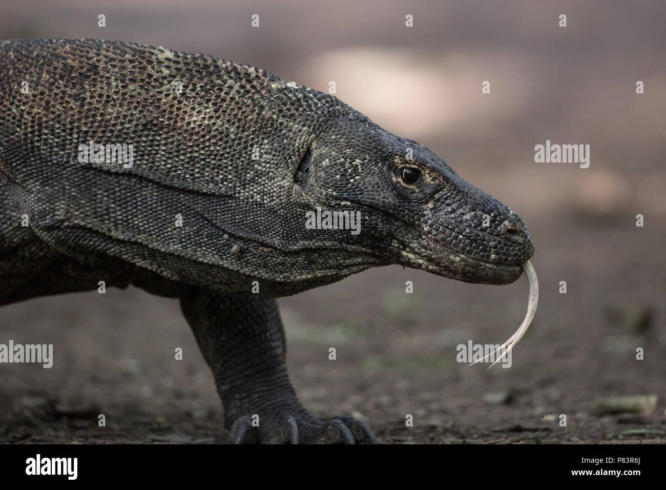 Komodo Dragon, close up with forked tongue, Komodo National Park - Stock Image