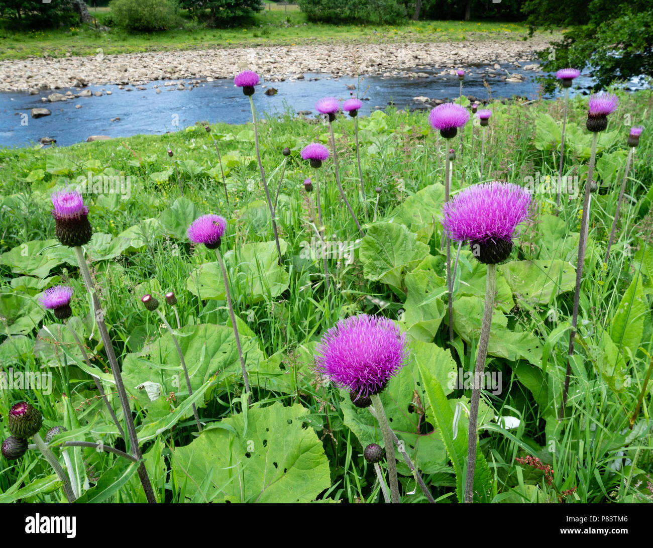 Colony of the handsome melancholy thistle Cirsium heterophyllum in damp ground on the banks of the River Swale in the Yorkshire Dales UK - Stock Image