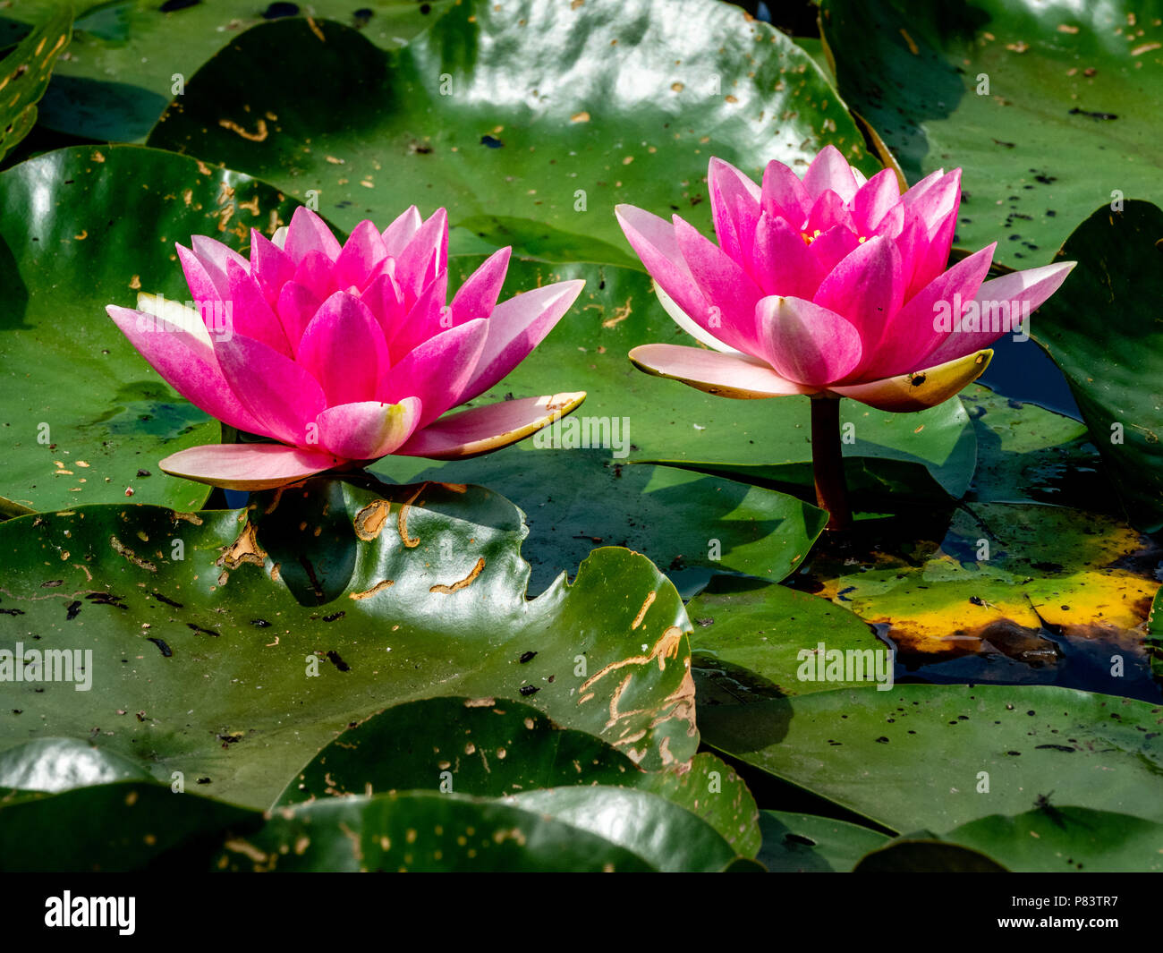 Deep pink water lily flowers and leaves on the surface of the moat deep pink water lily flowers and leaves on the surface of the moat pond at thursley common in surrey uk izmirmasajfo