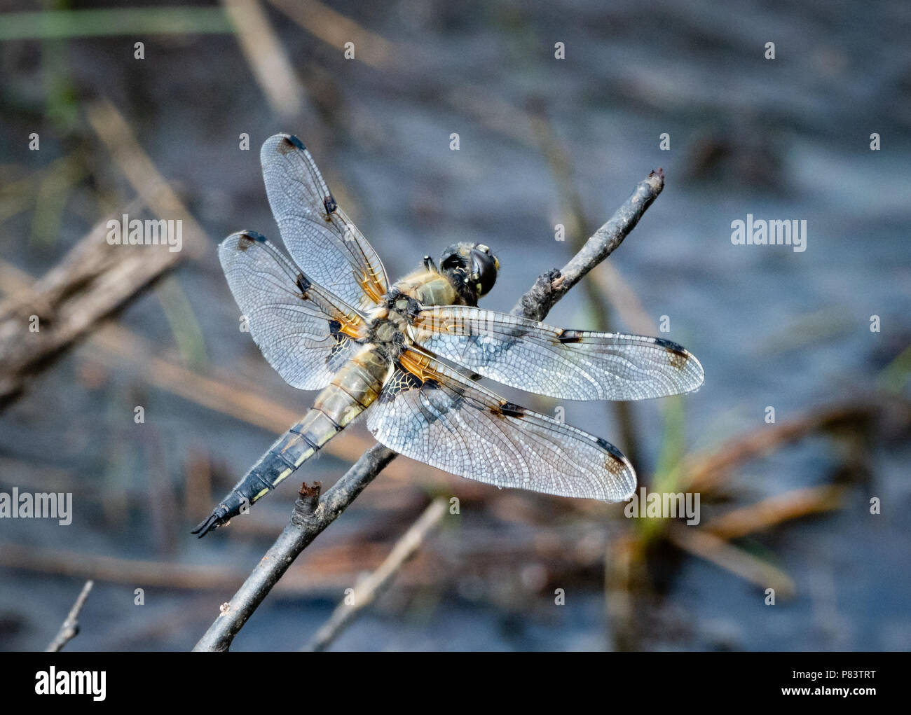 Four-spotted chaser dragonfly LIbellula quadrimaculata on a favoured perch above a heathland pool at Thursley Common in Surrey UK - Stock Image
