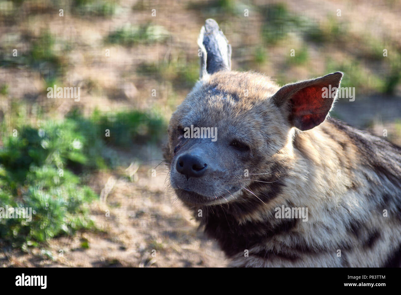 Tired hyena looks into the camera. Photo portrait of a wild animal. Stock Photo