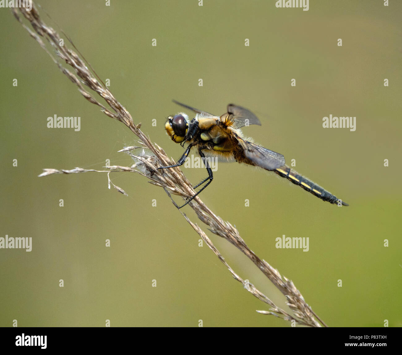 Adult male black darter Sympetrum danae at rest at Thursley Common Surrey UK Stock Photo