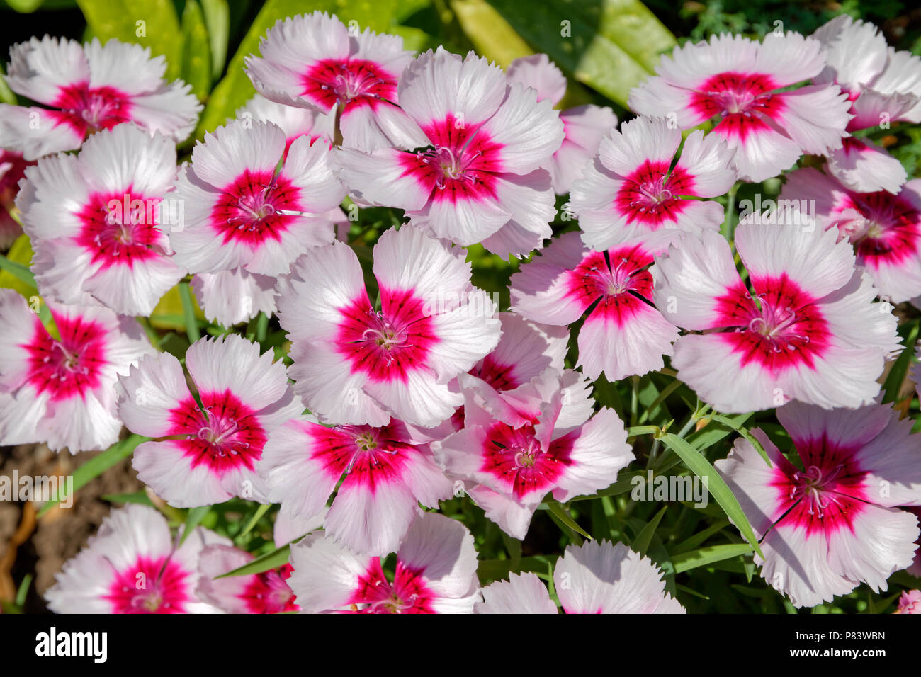 Pinks flower group in classification Dianthus. - Stock Image