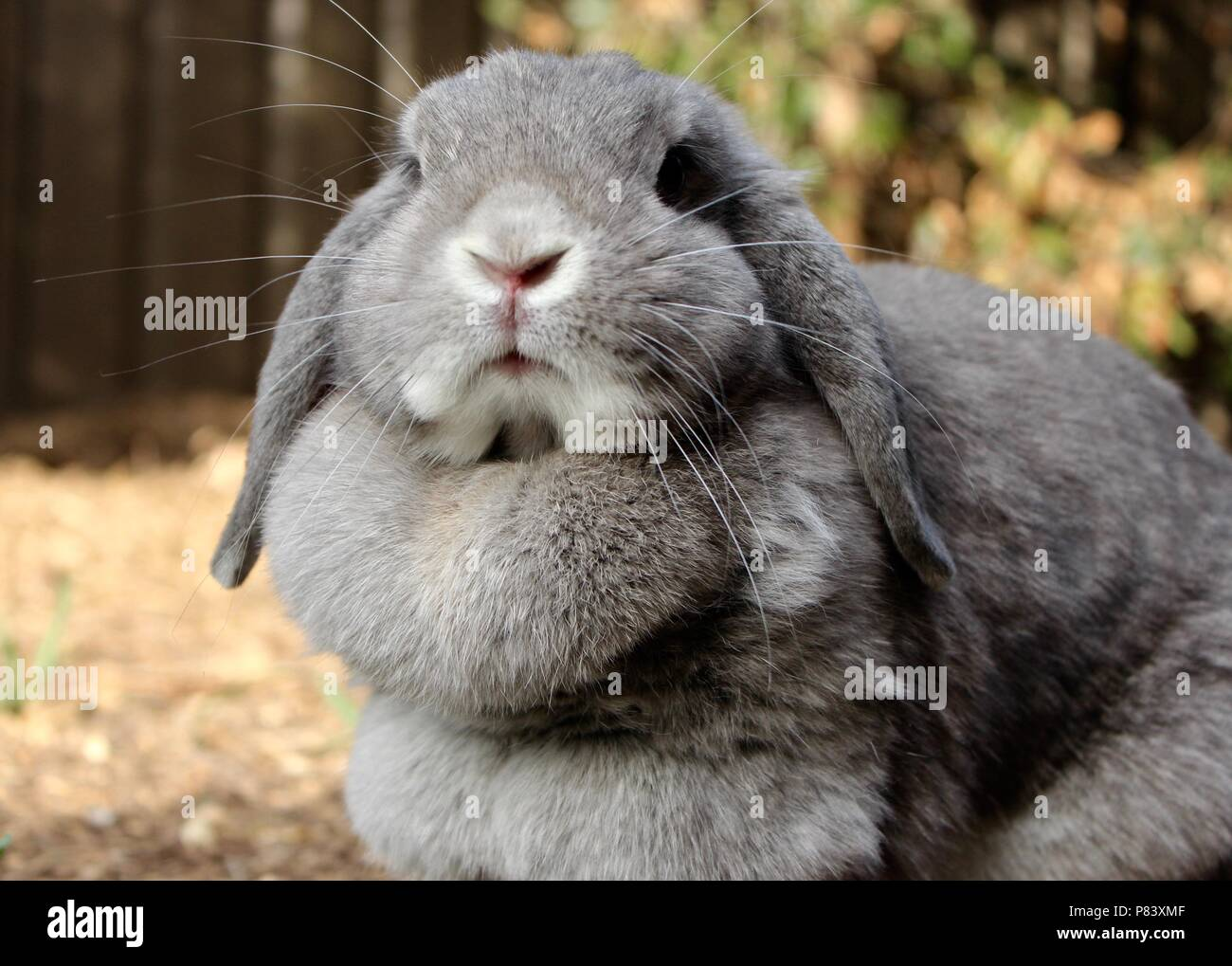 Close up of grey rabbit with floppy ears - Stock Image