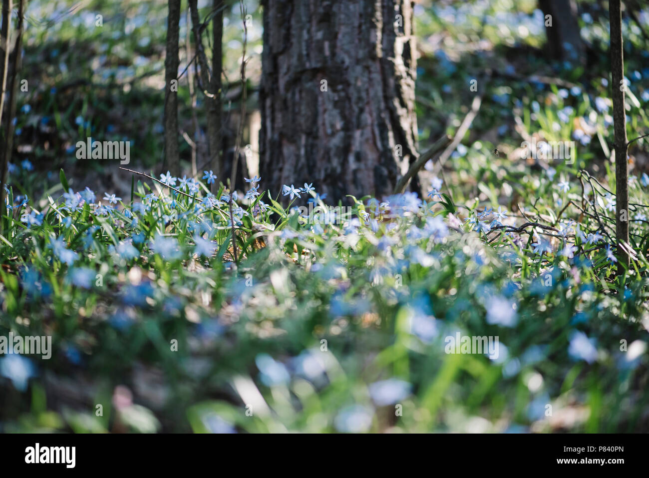 Beautiful Spring Forest With Blossoming Scilla Siberica Flowers