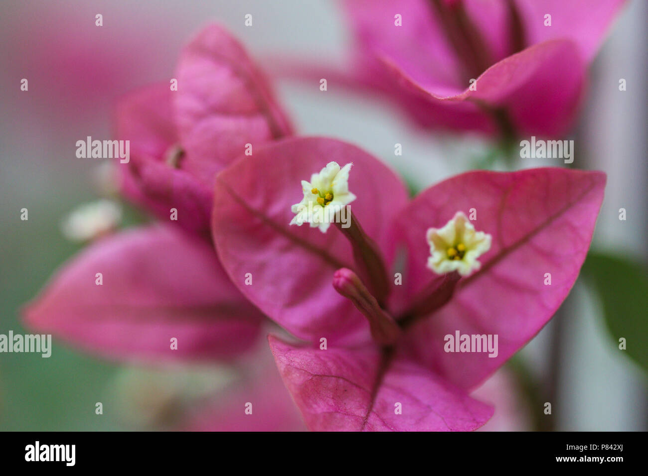 Brazilian Ornamental Plant Bougainvillea With Pink And White Flowers