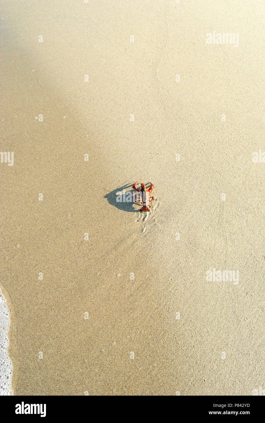 live lobster on the beach, early morning, top view, vertical, large copy space Stock Photo
