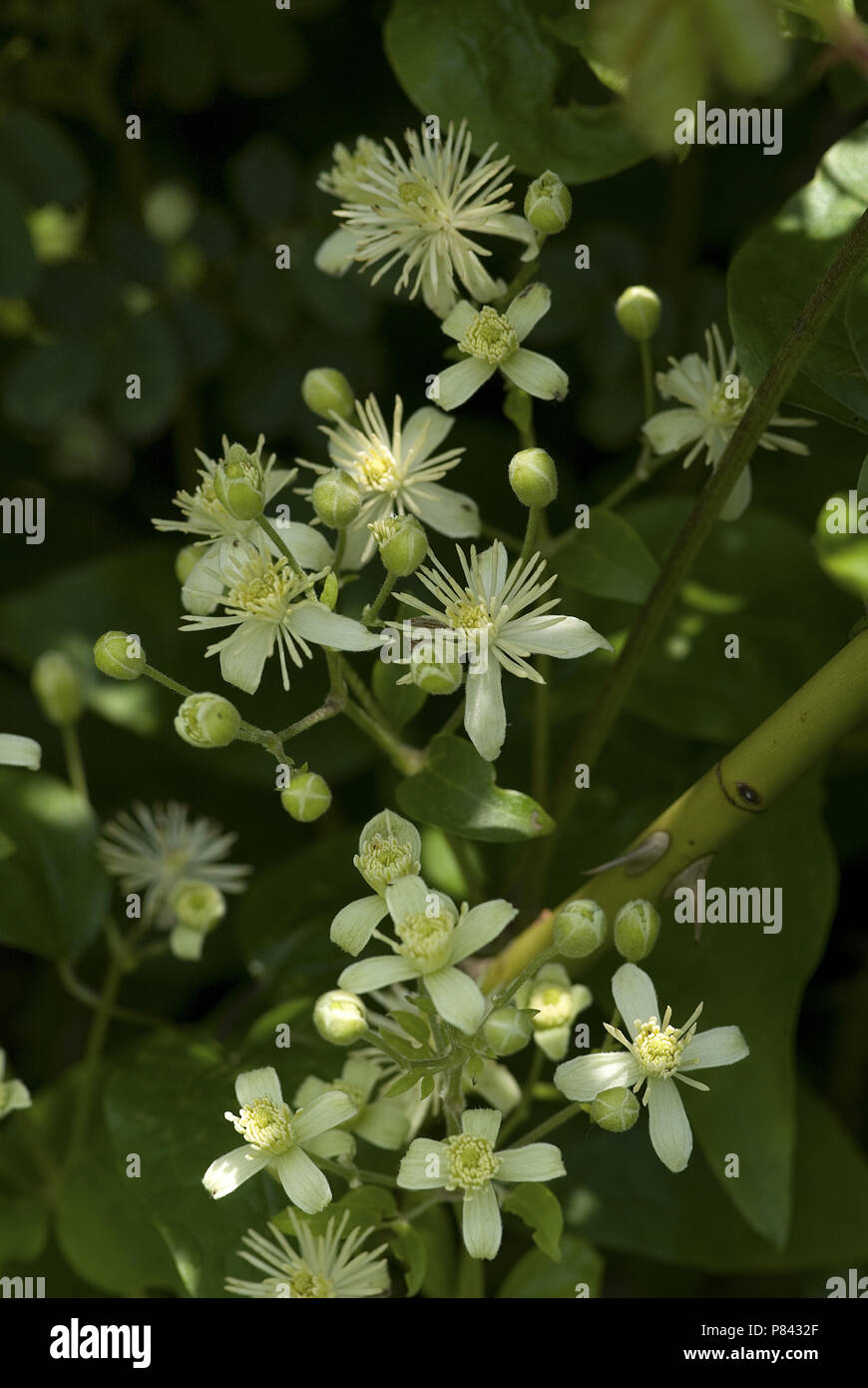 European flora, flowers - Stock Image