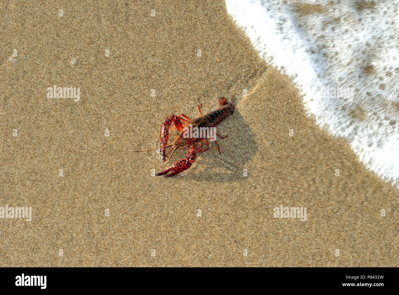 live lobster on sand Stock Photo