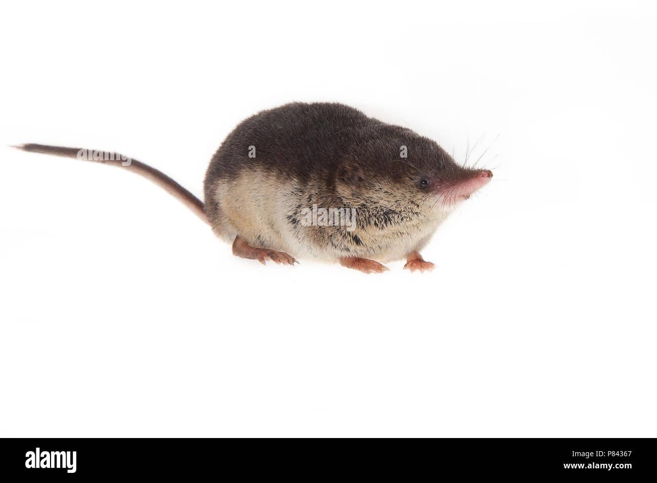 Bosspitsmuis, Common Shrew (Sorex araneus) - Stock Image