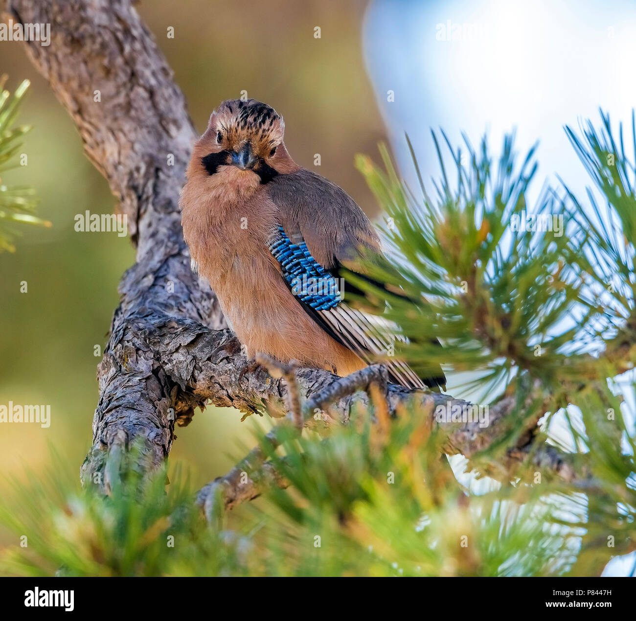 Cyprus Jay sitting on a branch in Troodos, Cyprus. June 2015. Stock Photo