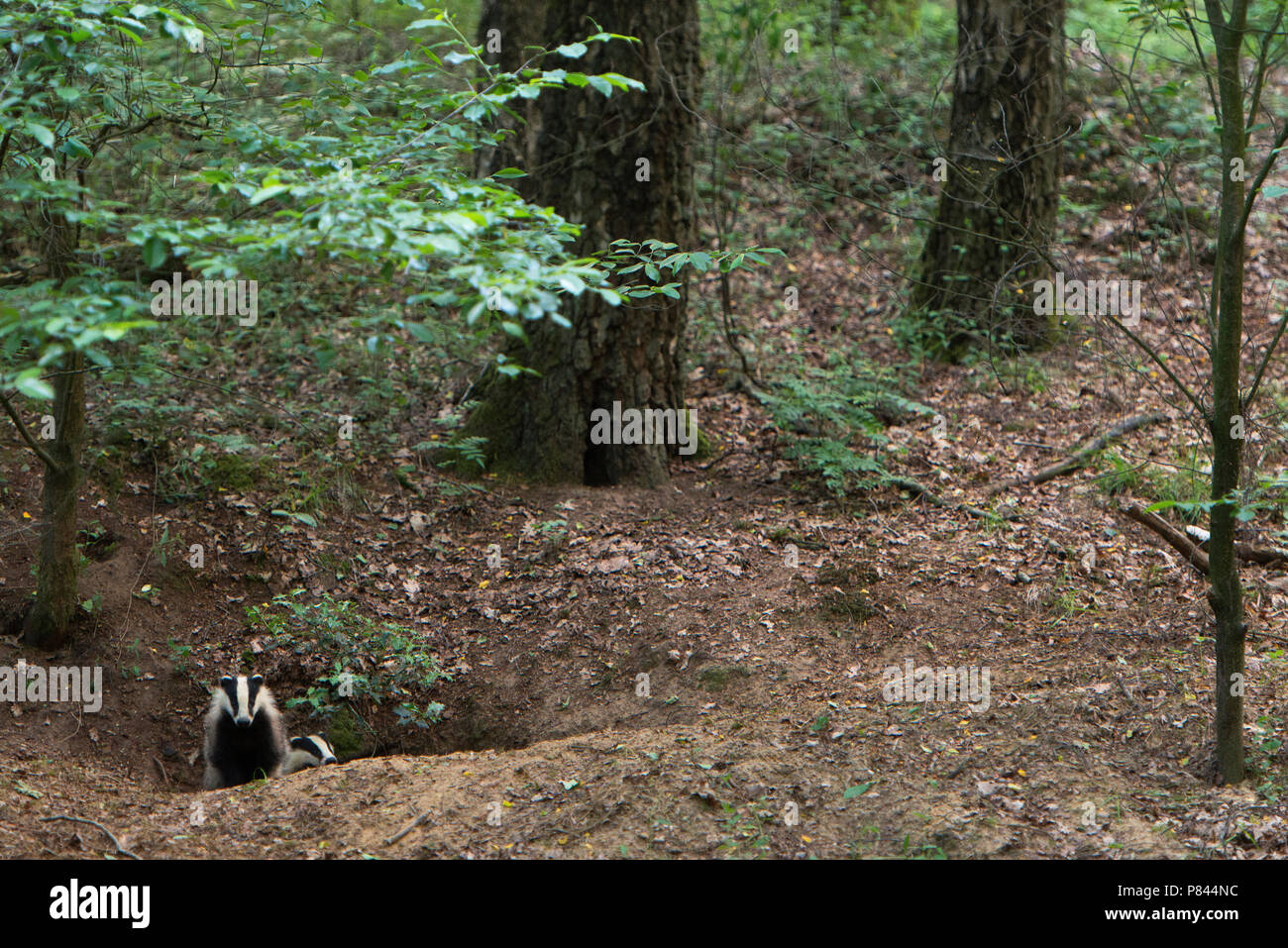 Dassen rond burcht,  European Badger near hole - Stock Image