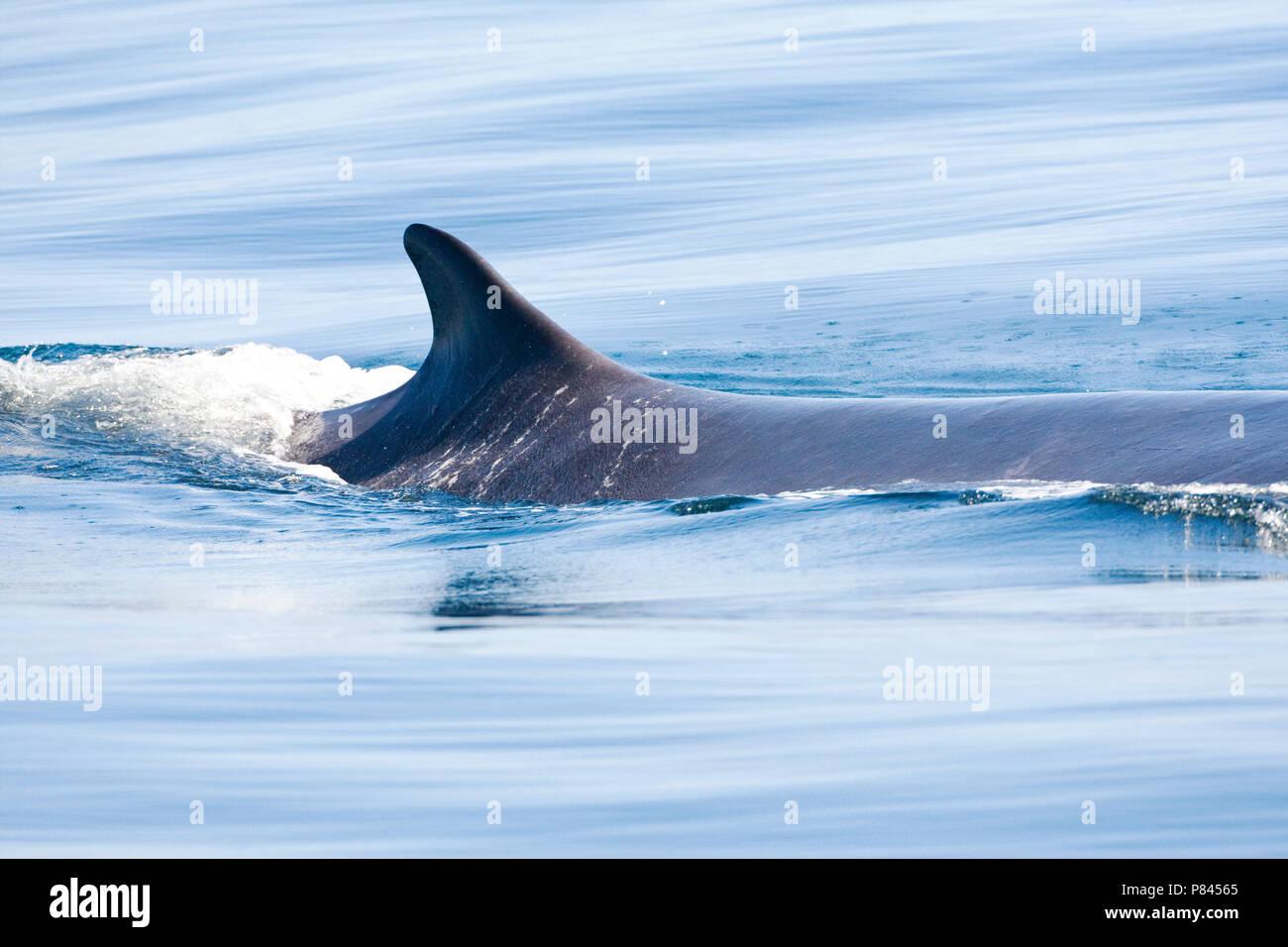 Gewone vinvis; Fin whale - Stock Image
