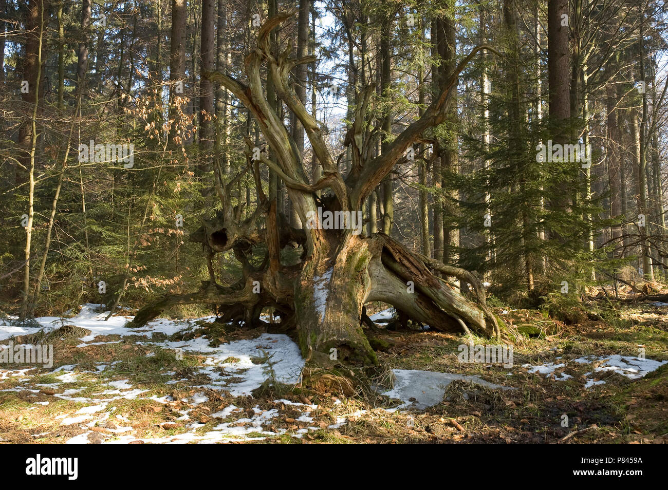 Bayerische Wald, in de winter; Bayerische Wald, in winter - Stock Image