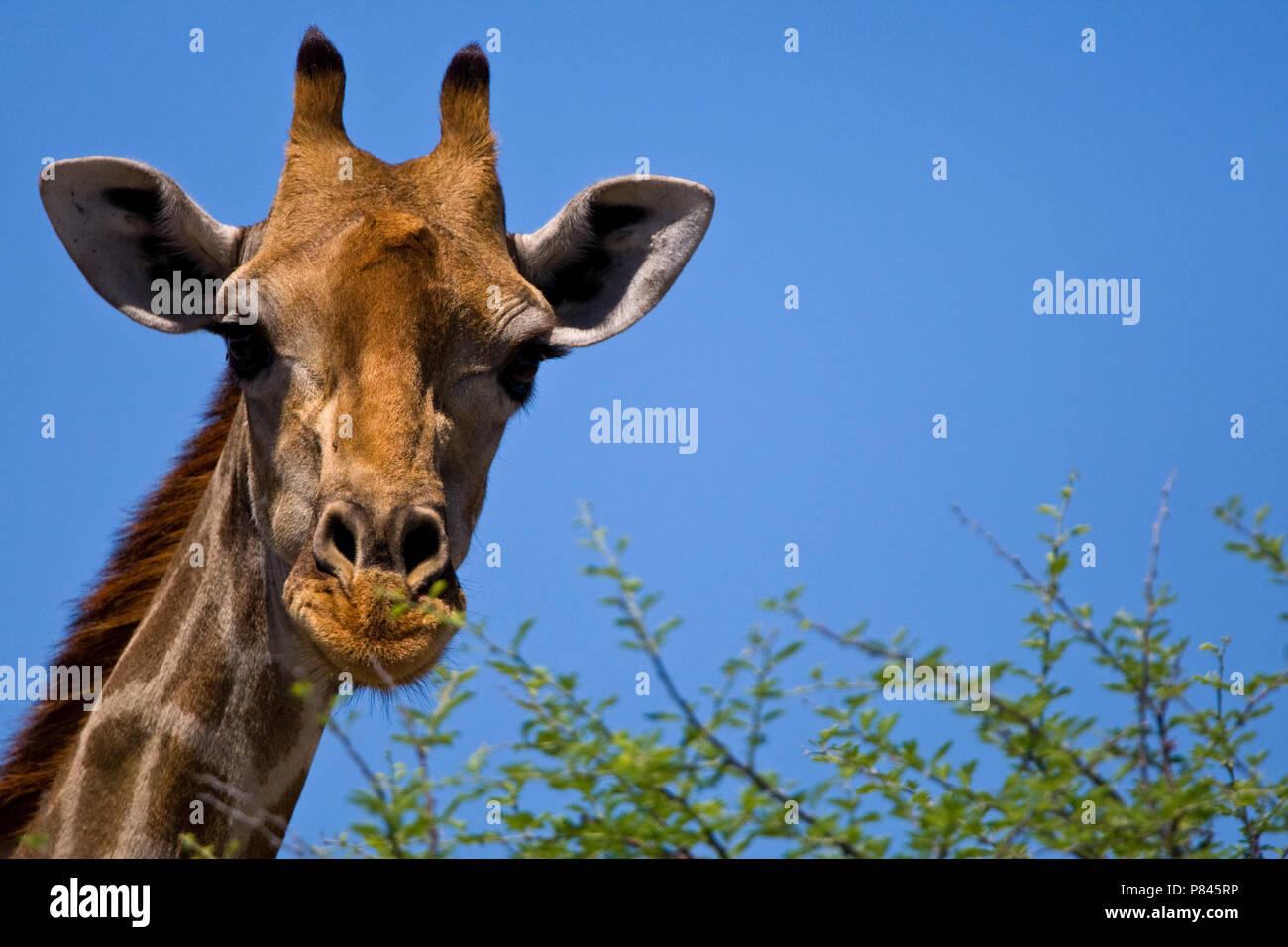 Giraffe closeup kop Namibie, Giraffe close-up head Namibia - Stock Image