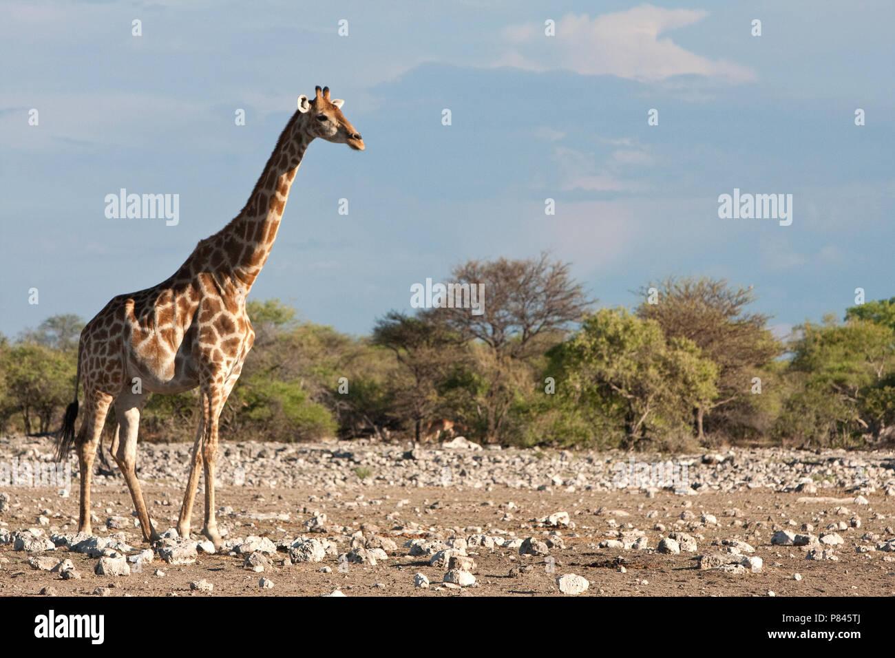 Giraf in Etosha NP Namibie, Giraffe at Etosha NP Namibia - Stock Image