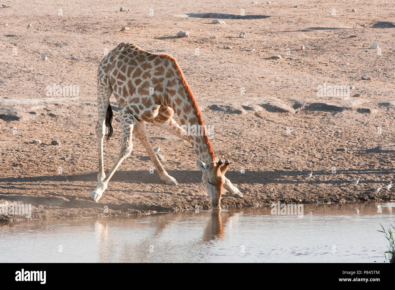 Giraf drinkend Etosha NP Namibie, Giraffe drinking Etosha NP Namibia - Stock Image