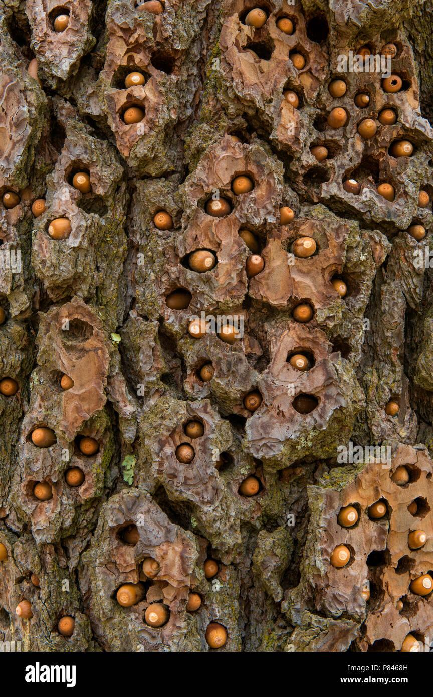 Stash of the Acorn Woodpecker (Melanerpes formicivorus), Ponderosa Pine, Acorn Ranch, Yorkville, Mendocino County, California - Stock Image
