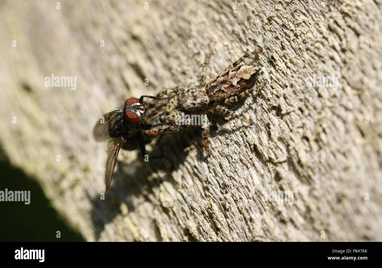 A small Fence-Post Jumping Spider (Marpissa muscosa) perching on a wooden fence with a fly in its talons which it has just caught and is eating. - Stock Image