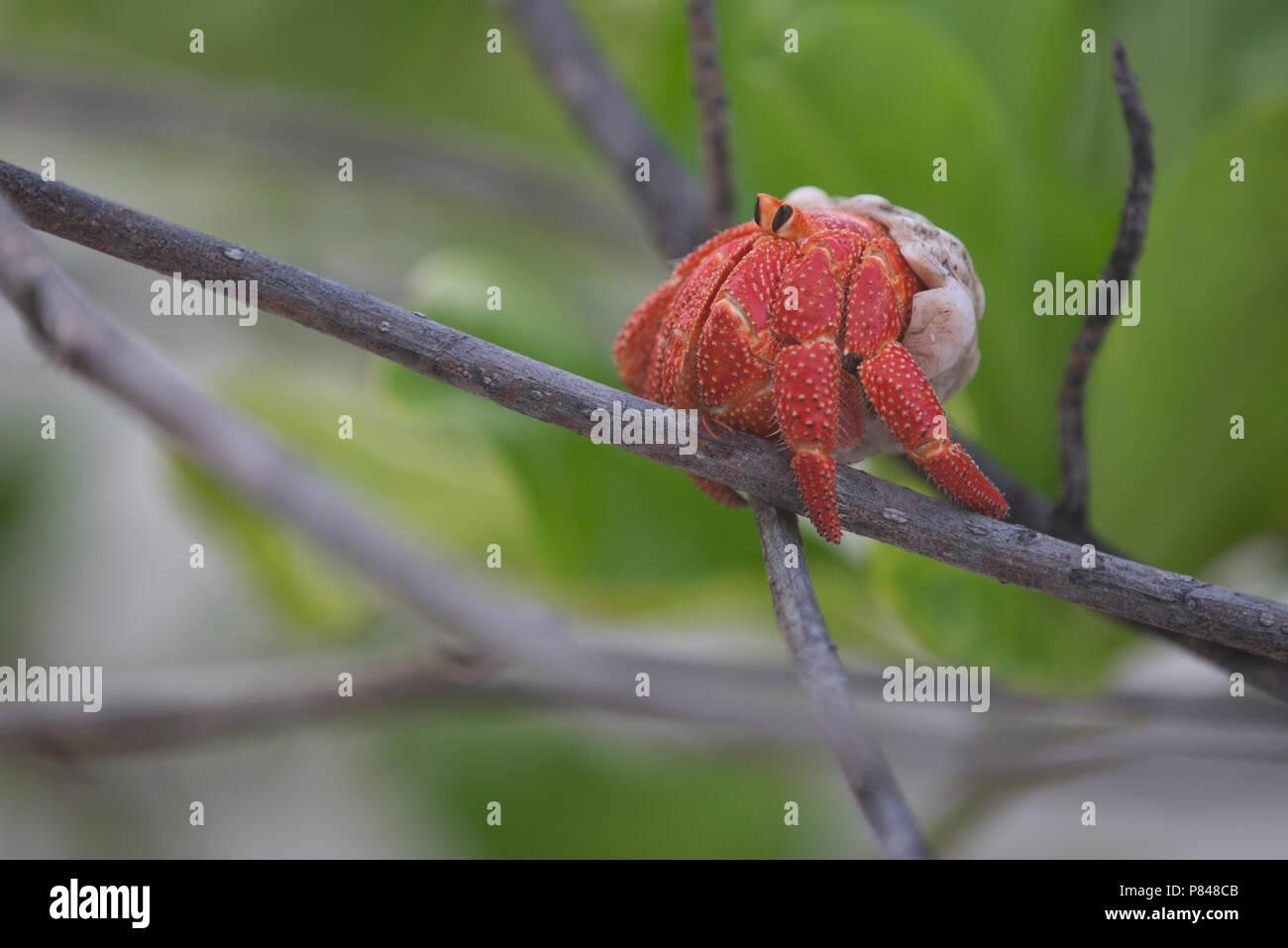 Hermit Crab, Kiribati, South Pacific - Stock Image
