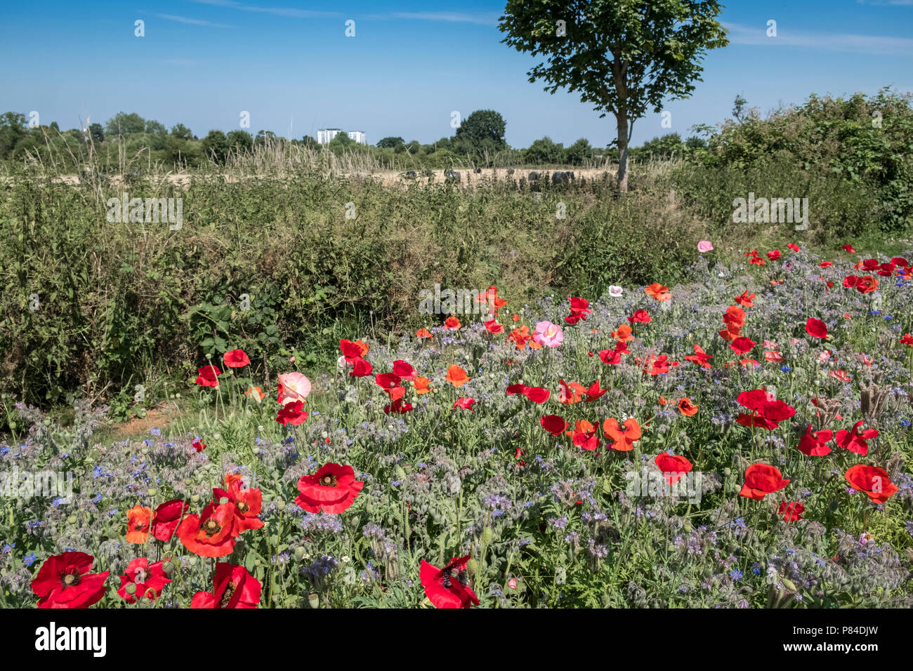 Wild flowers growing alongside Bromwich Parade, a tranquil public walkway in central Worcester, Worcestershire, West Midlands UK Stock Photo