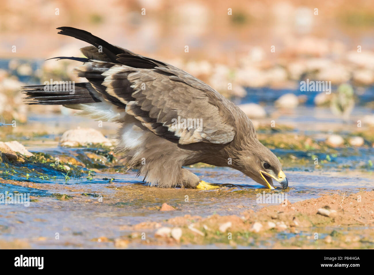 Steppe Eagle (Aquila nipalensis orientalis), juvenile drinking in a creek - Stock Image