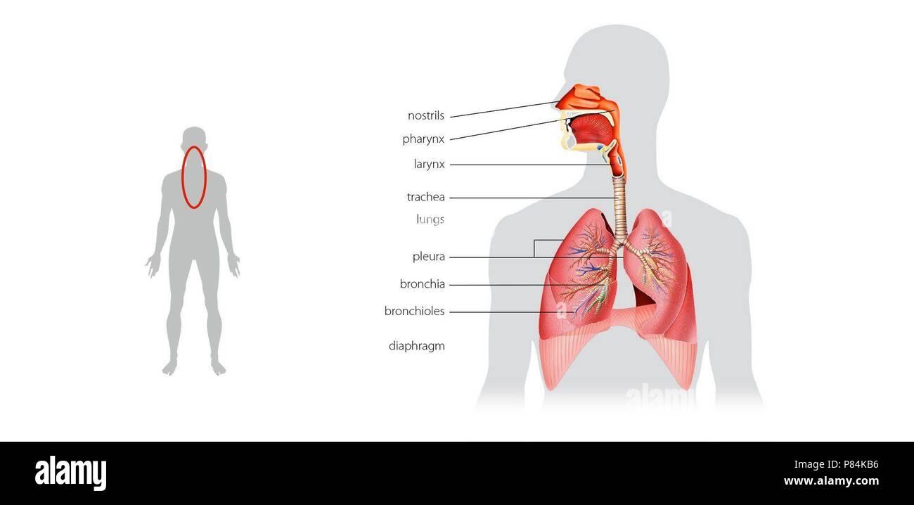 Respiratory System Diaphragm Stock Photo 211544682 Alamy