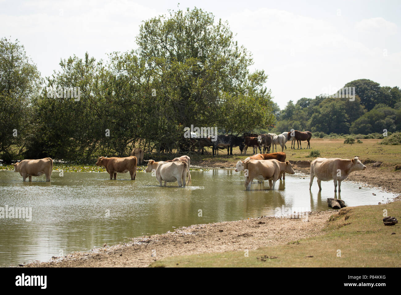 Cattle at Janesmoor Pond in the New Forest during the UK heatwave of 2018. 7.7.18. New Forest Hampshire England UK GB - Stock Image