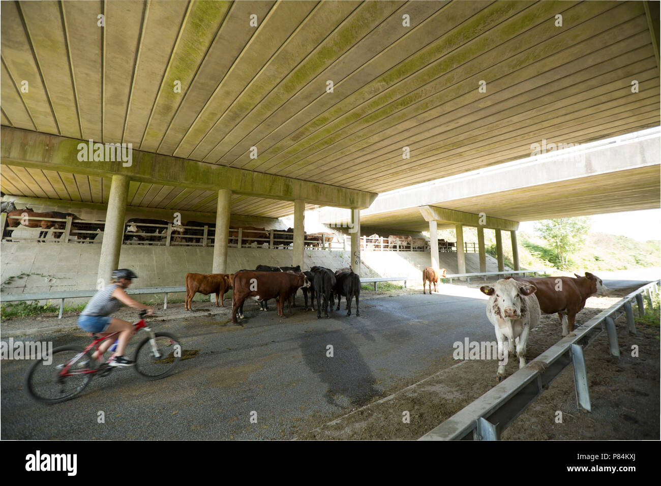A cyclist passes cattle and horses sheltering during the 2018 UK heatwave from hot weather under the A31 bridges in the New Forest Hampshire UK GB. 7. - Stock Image