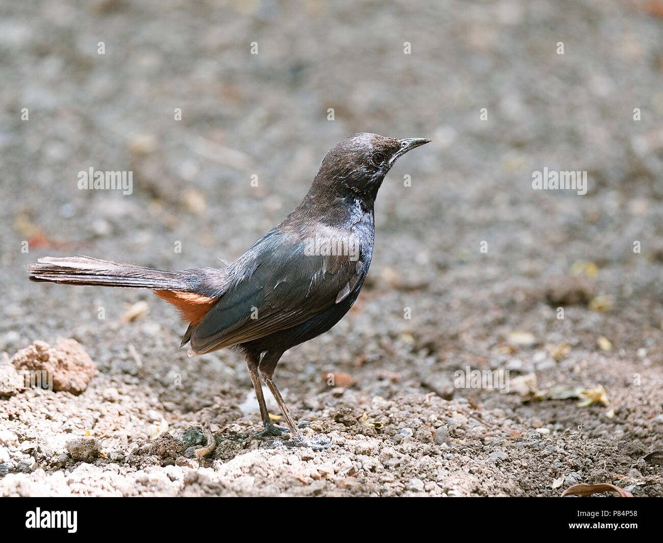 Indian Robin Bird Closeup with blurred background - Stock Image