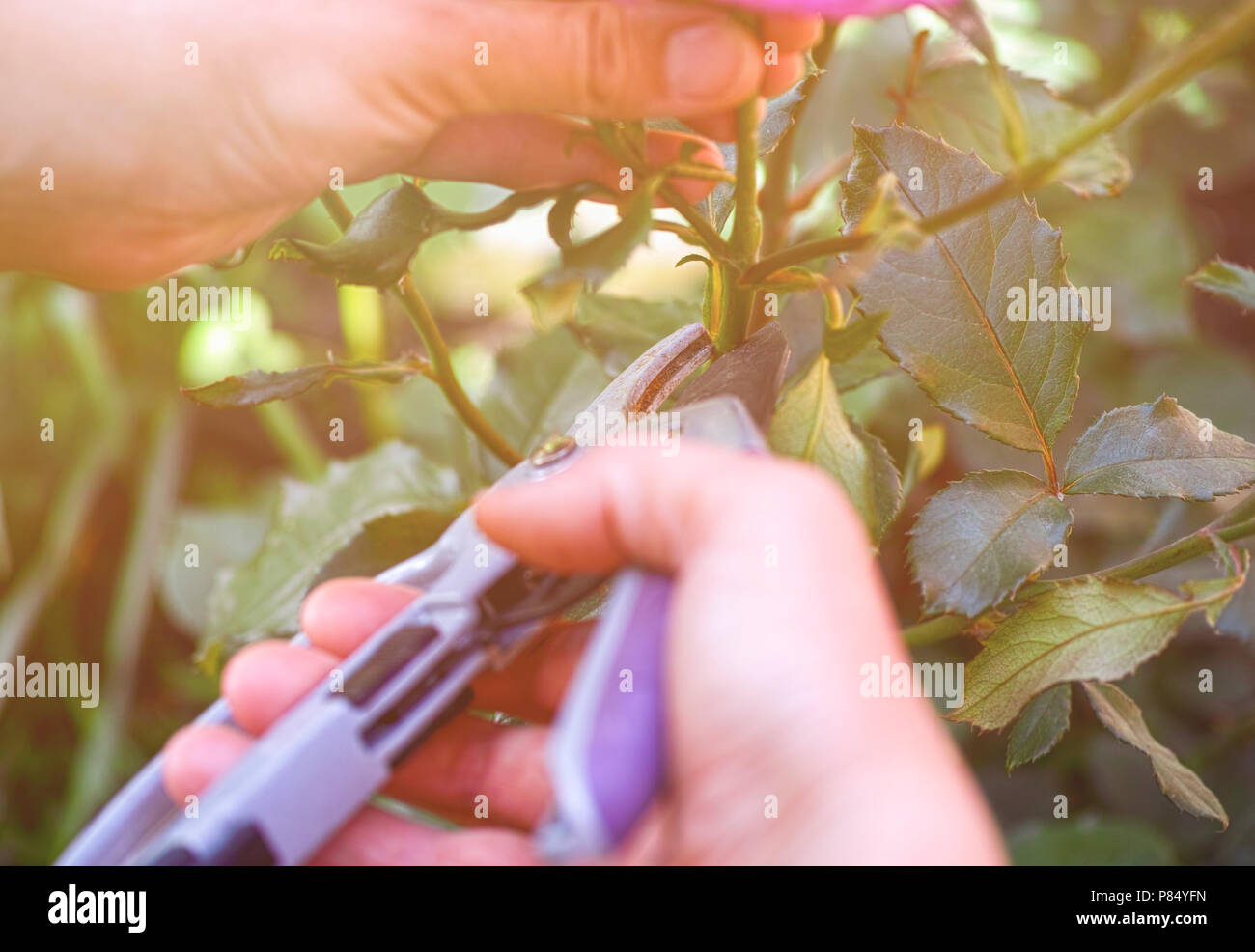 Woman hands with gardening shears cutting rose bush. - Stock Image