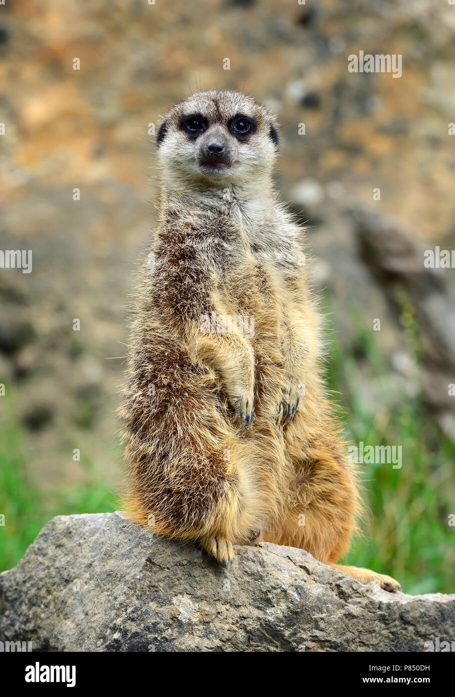 Meerkat family member (Suricata suricatta) on guard Stock Photo