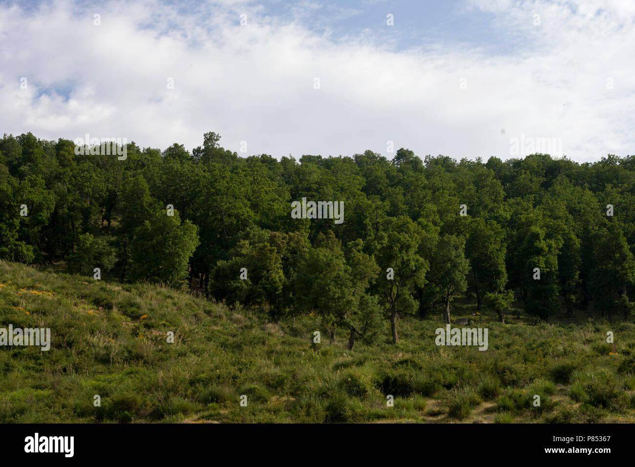 Naaldbos, Pine Forest, Petite Kabylie; Algerije; Algeria - Stock Image