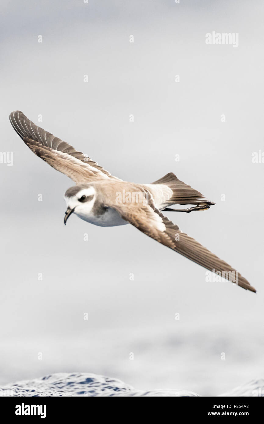 White-faced Storm-Petrel (Pelagodroma marina) foraging off Madeira islands - Stock Image